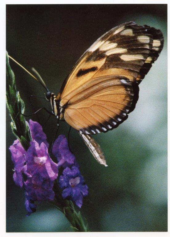An orange butterfly landing on a purple flower